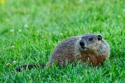 Groundhog on the back yard