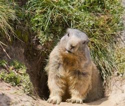 groundhog sitting in front of it's den in summer in Valais, Switzerland