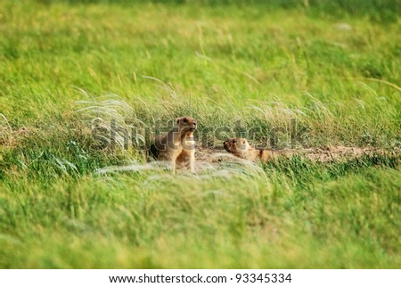 Groundhogs near the hole in prairie