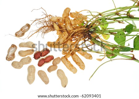 Groundnut Plant With Nuts Attach To The Root.