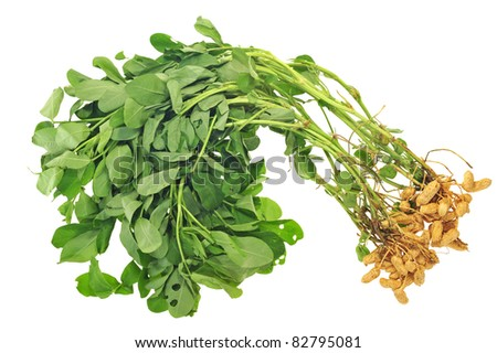 Groundnut Plants With Nuts Attached To The Roots