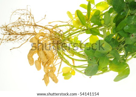 Groundnut Plants With Roots And Leaves On White Background