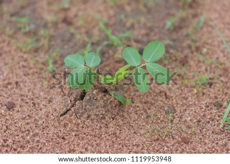 Groundnut seeds Germination on the natural background. groundnut seeds Germination background and groundnut seeds plant backdrops.