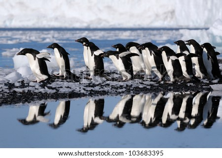 Group Adelie Penguins going to the water.