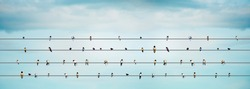 Group birds sitting on power lines sky blue background