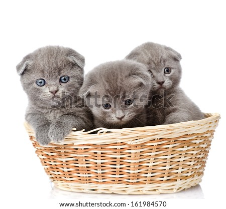 group british shorthair kittens in basket. isolated on white background