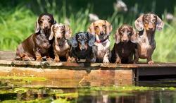 group dog  dachshund sits by the water, dachshund puppy dog swim in the river