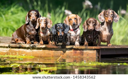 group dog  dachshund sits by the water, dachshund puppy dog swim in the river Сток-фото ©