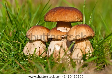 Group edible mushrooms (boletus edulis bull, borowik szlachetny, prawy, prawdziwek) grow in grass. Mushrooming in polish forest. Zdjęcia stock ©