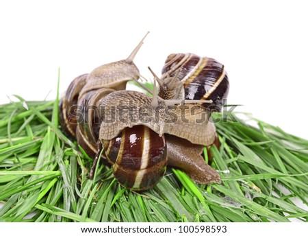 Group Garden snail (Helix aspersa) Snails source of protein