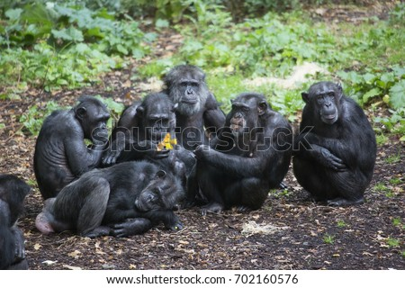 group meeting on forest floor common chimpanzee, Pan troglodytes
