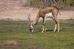 Group of a beautiful young sand gazelles (Gazella Marica) in the park, Arabian Peninsula.