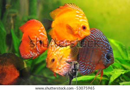 group of a colorfull  tropical Symphysodon discus fishes in an aquarium