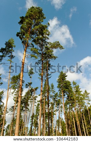 Group of a tall pine trees. - stock photo