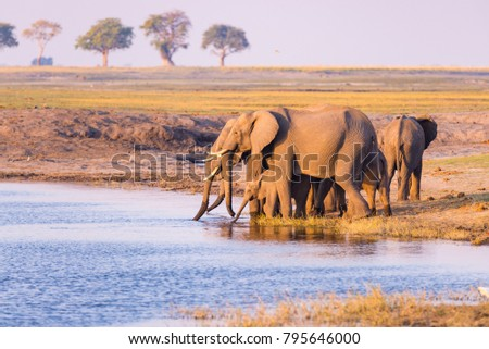 Group of African Elephants drinking water from Chobe River at sunset. Wildlife Safari and boat cruise in the Chobe National Park, Namibia Botswana border, Africa. stock photo