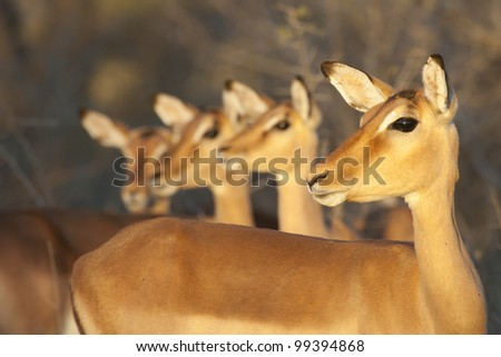 Group of alert female Impala (Aepyceros melampus), South Africa