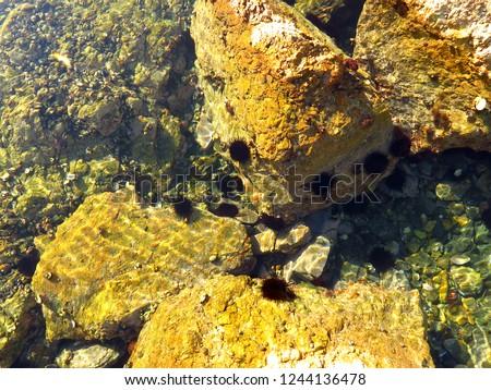 Group of alive Sea urchin hedgehog Strongylocentrotus nudus in the wild underwater #1244136478
