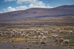 Group of alpacas eating grass in middle of mountain valley of Colca region, Peru. Southamerican landscape and fauna. Pasture and feed
