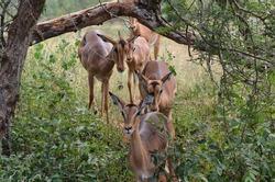 Group of Antilope walking behind durring the bush Africa
