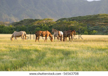 group of Appaloosa horses feeding in a ranch in Kauai Hawaii