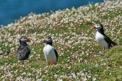Group of Atlantic puffin (Fratercula arctica) amongst spring flowers on Skomer Island off the coast of Pembrokeshire in Wales, United Kingdom