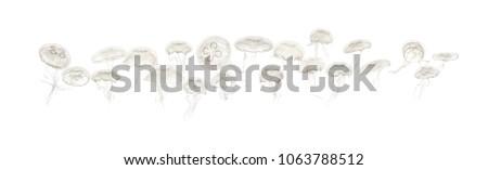 Group of Aurelia aurita jellyfish against white background #1063788512