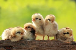 Group of Babies Chickens on Nature Background