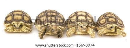 African Spurred Tortoise Size | RM.
