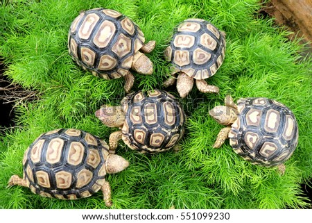 Group of Baby Leopard tortoise walking slowly and sunbathe on ground with his protective shell ,cute animal pictures make you smile