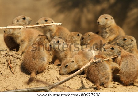 Group of baby prairie dogs