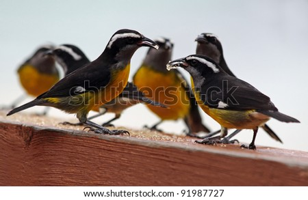 Group of Bananaquits (Coereba flaveola) with their favourite food, Tobago