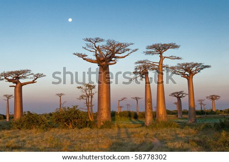 Group of baobab trees, Madagascar