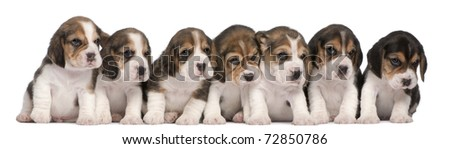 Group of Beagle puppies, 4 weeks old, sitting in a row in front of white background