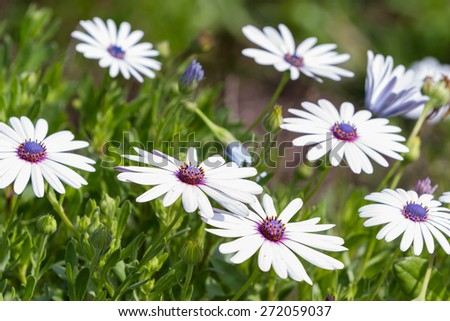 group of beautiful african moon flowers in a garden Stock photo ©