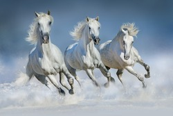 Group of beautiful arabian horses run gallop in snow winter field