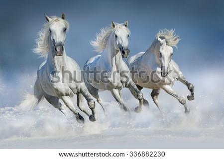 Group of beautiful arabian horses run gallop in snow winter field