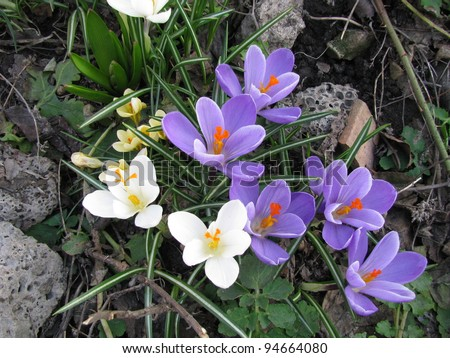 Group of beautiful blooming spring crocus on the nature background