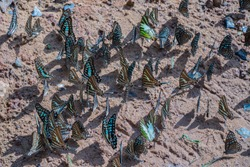 group of beautiful butterflies.Blurred Tailed Jay butterflies (Graphium agamemnon) on the ground.