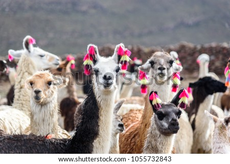 Group of beautiful decorated Llamas in the highlands of Bolivia staring into the camera. #1055732843