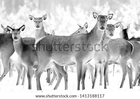 Group of beautiful female deer on the background of a snowy winter forest. Noble deer (Cervus elaphus). Artistic Christmas winter image. Black and white.