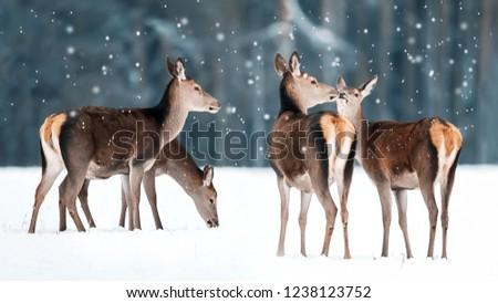 Group of beautiful female graceful deer in a snowy winter forest. Noble deer (Cervus elaphus). Winter wonderland.