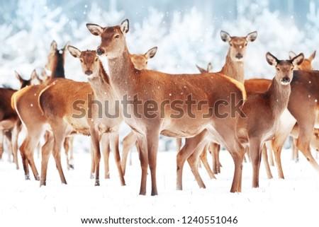 Group of beautiful female graceful deer in a snowy winter forest. Noble deer (Cervus elaphus). Winter wonderland. Christmas postcard.