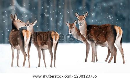 Group of beautiful female graceful deer on the background of a snowy winter forest. Noble deer (Cervus elaphus). Winter wonderland.