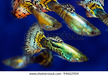 Group of beautiful guppies in a row