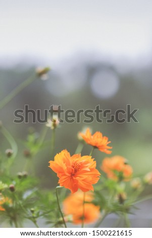 Group of Beautiful orange Sulfur Cosmos or Yellow Cosmos bloomimg in the garden.Round white bokeh in background.