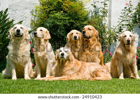 Group of beautiful pretty adult Golden Retrievers sitting down on green lawn