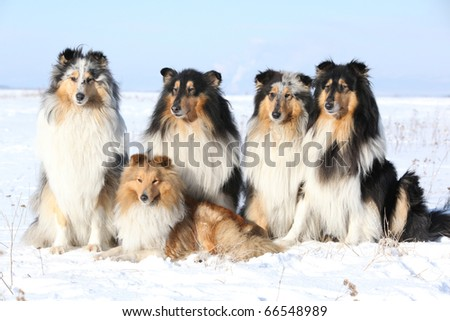Group of Beautiful Scotch Collie and Shetland Sheepdog in winter