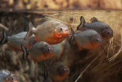 Group of beautiful vibrant piranhas in Istanbul aquarium.