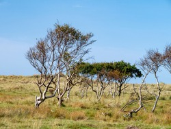 Group of birch trees, Betula, in dune landscape in nature reserve on West Frisian island Vlieland, Netherlands