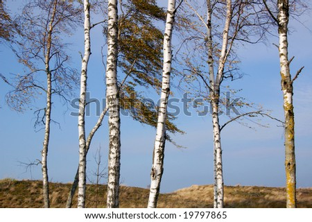 group of birch trees in autumn